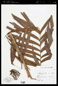Geonoma ferruginea image