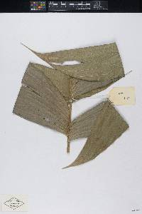 Geonoma longivaginata image