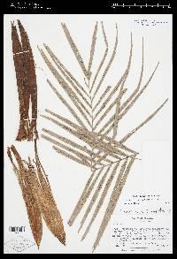 Geonoma mooreana image