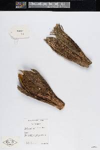 Geonoma pinnatifrons image