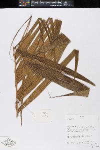 Geonoma undata image