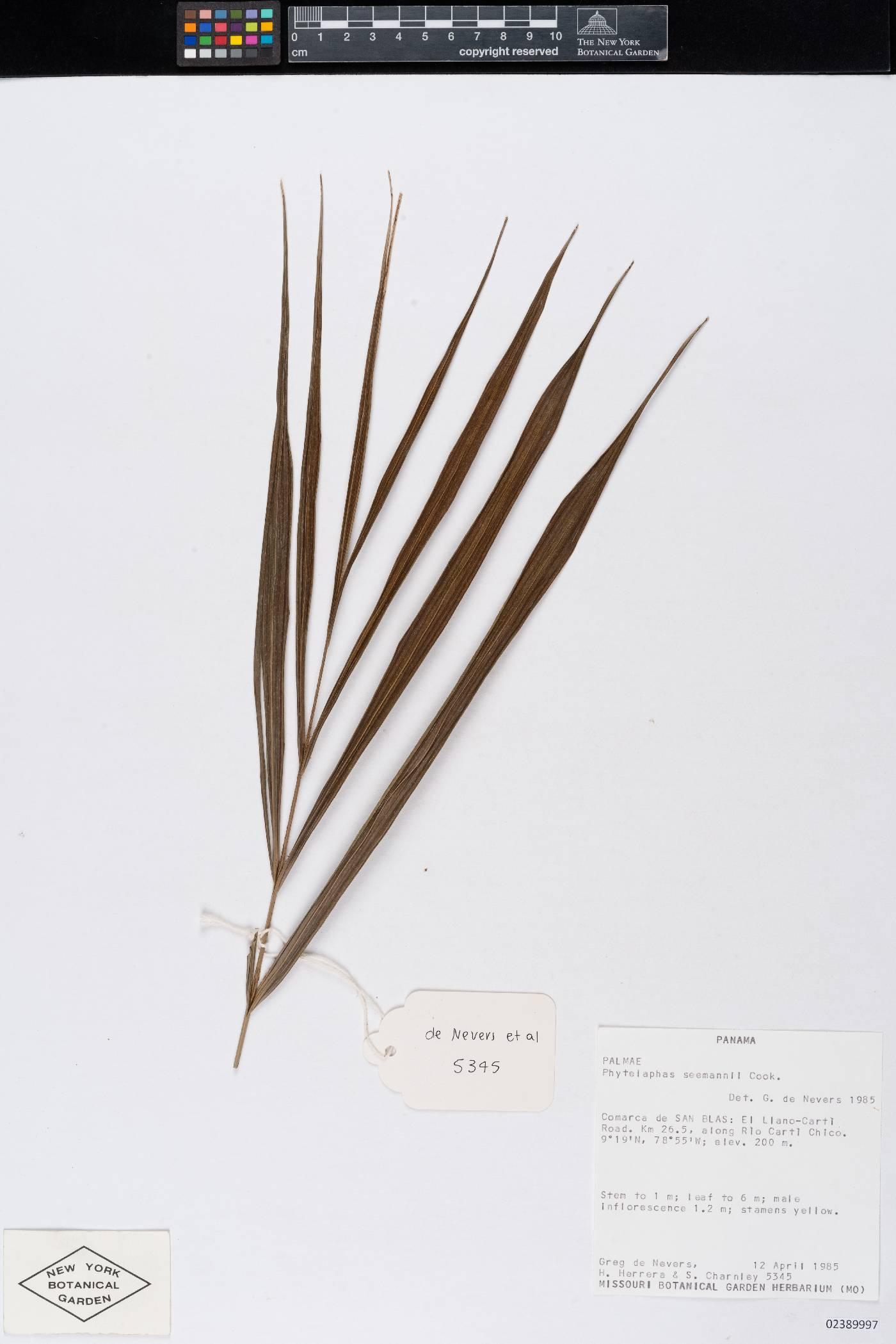 Phytelephas seemannii image
