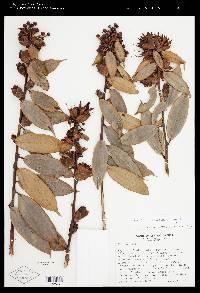 Cavendishia crassifolia image