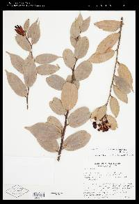 Image of Cavendishia crassifolia