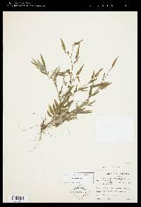 Centradenia inaequilateralis image