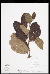 Axinaea costaricensis image