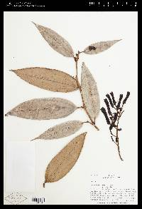 Image of Cavendishia aberrans