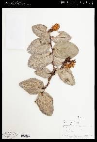 Cavendishia allenii image
