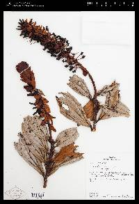 Image of Cavendishia arizonensis