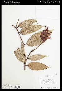 Cavendishia atroviolacea image