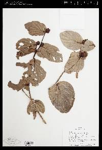 Cavendishia axillaris image