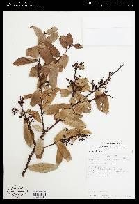 Cavendishia bracteata image