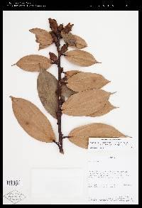 Image of Cavendishia bracteata