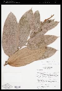 Cavendishia callista image