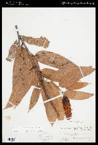 Image of Cavendishia callista
