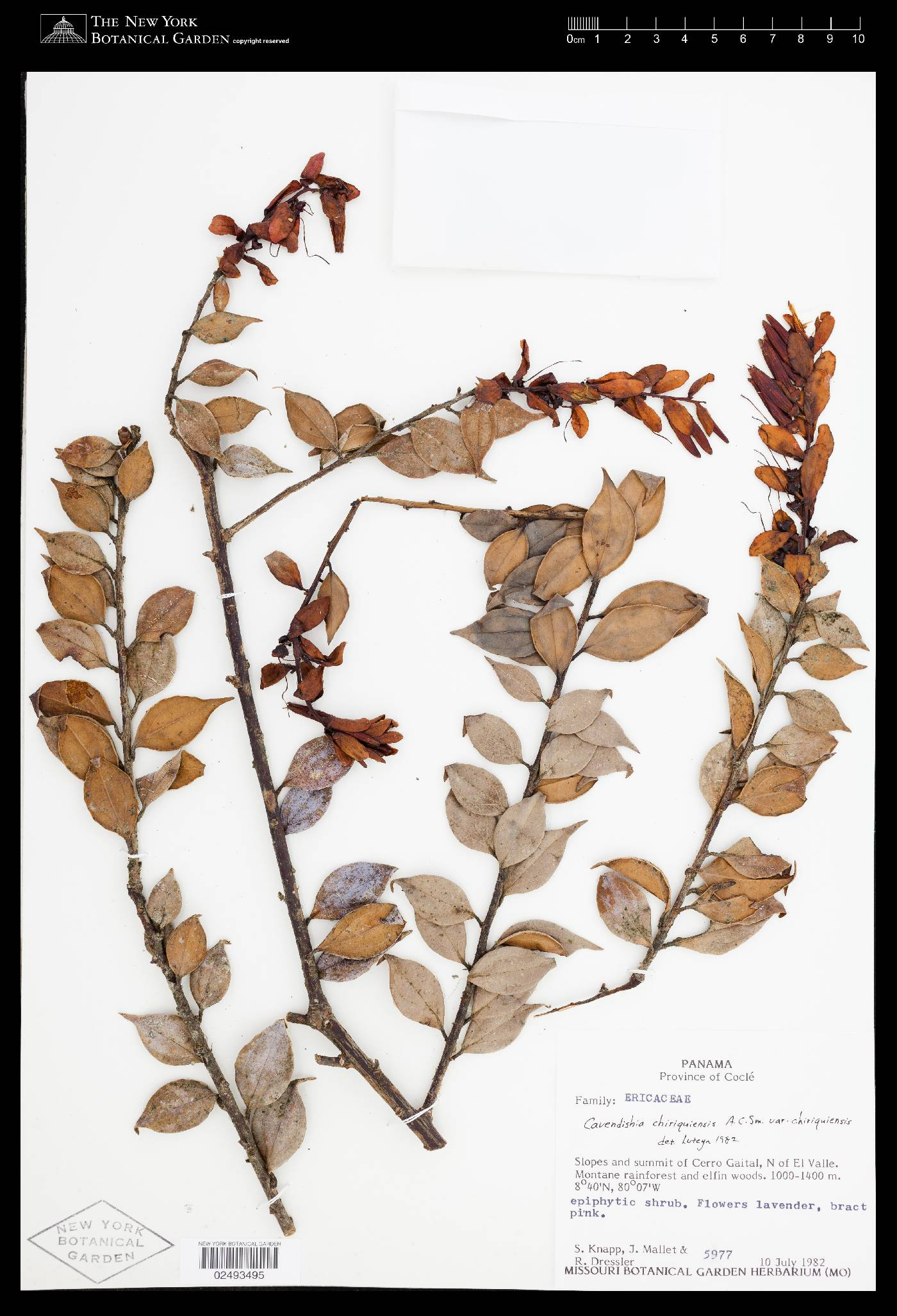 Cavendishia chiriquiensis image