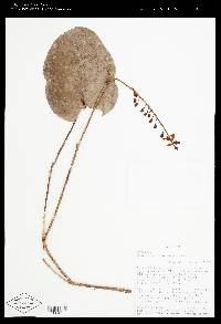 Image of Cavendishia complectens