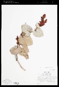Cavendishia complectens image
