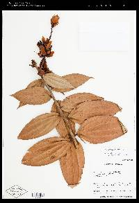 Image of Cavendishia fortunensis