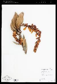 Cavendishia fortunensis image