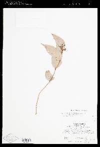 Image of Cavendishia laurifolia