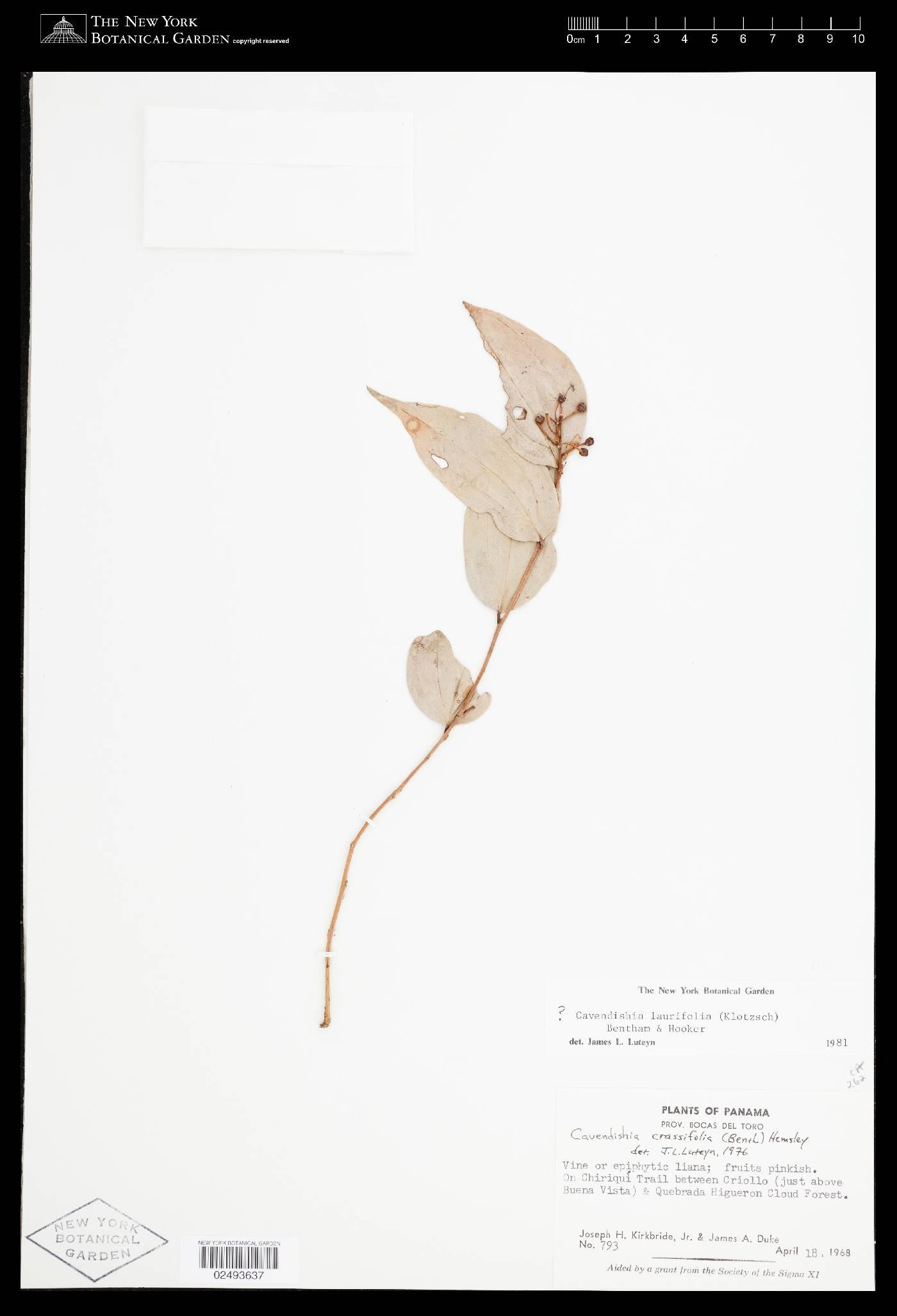 Cavendishia laurifolia image