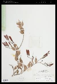 Cavendishia melastomoides image