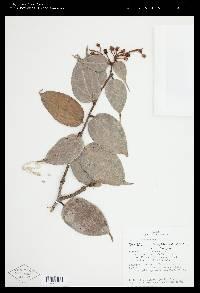 Image of Cavendishia morii