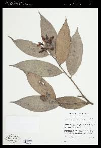 Cavendishia pubescens image
