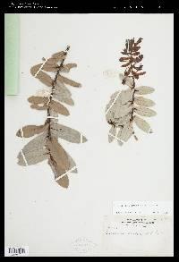 Cavendishia quercina image