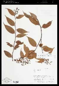 Cavendishia quereme image