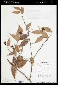 Image of Cavendishia quereme