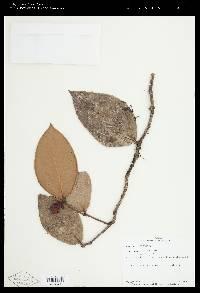 Image of Cavendishia revoluta