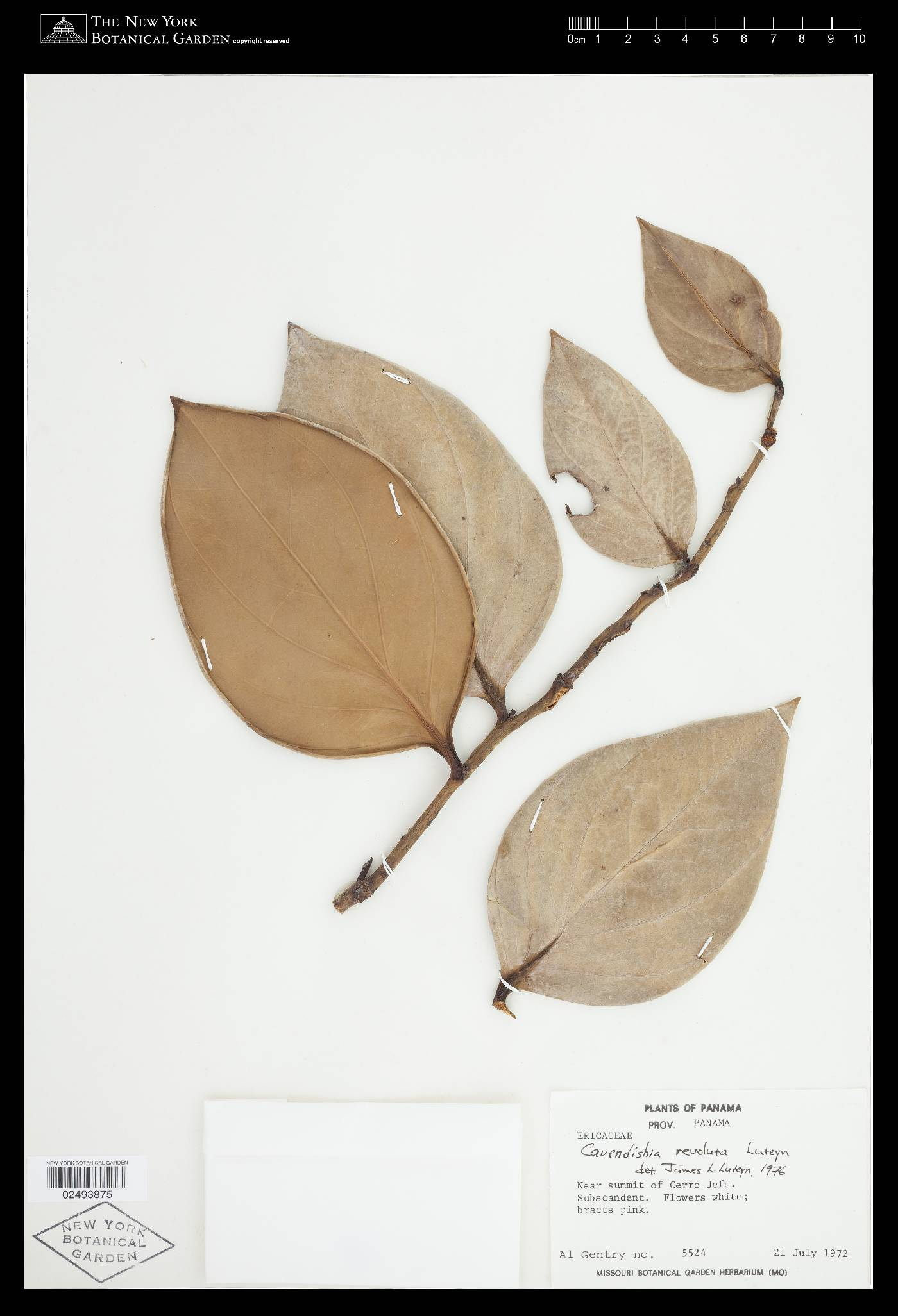 Cavendishia revoluta image