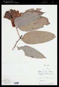 Image of Cavendishia santafeensis