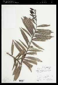 Cavendishia stenophylla image