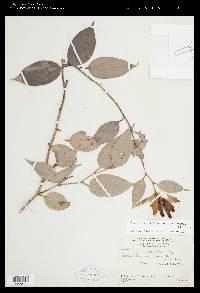 Cavendishia subfasciculata image