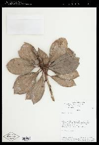 Image of Cavendishia tenella