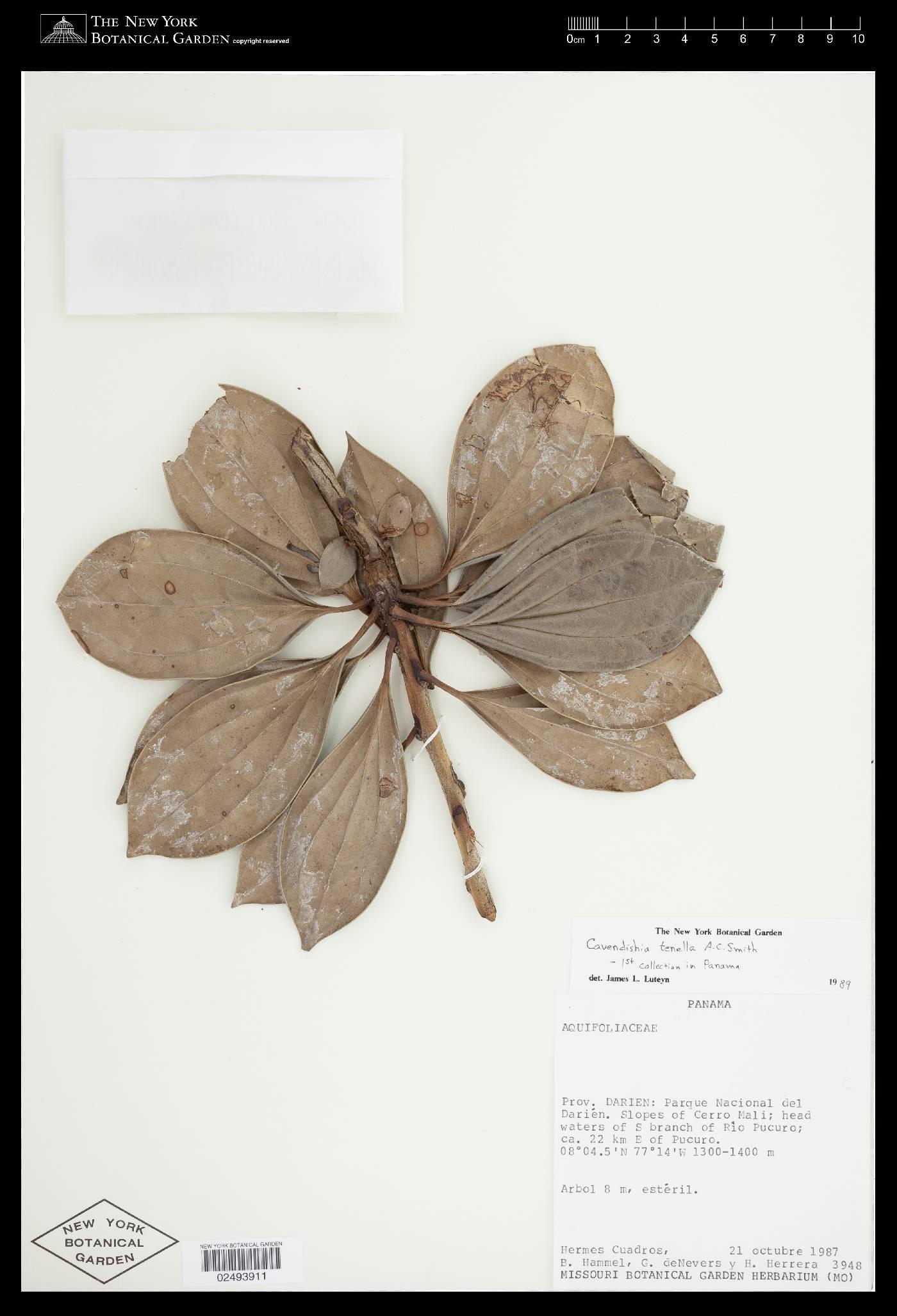 Cavendishia tenella image