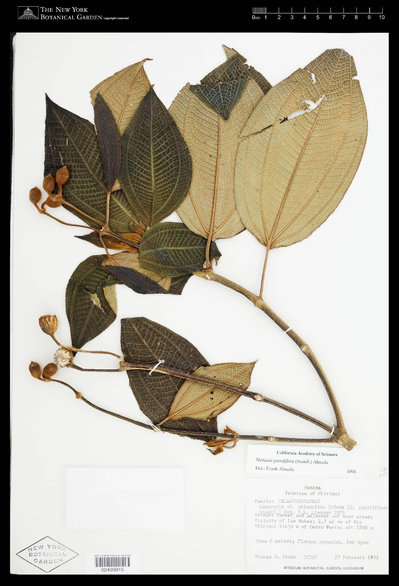 Meriania grandiflora image