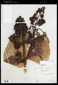 Meriania macrophylla image