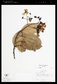 Meriania panamensis image