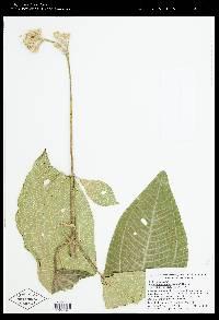 Meriania phlomoides image