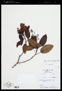 Miconia talamancensis image