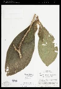 Henriettella cuneata image