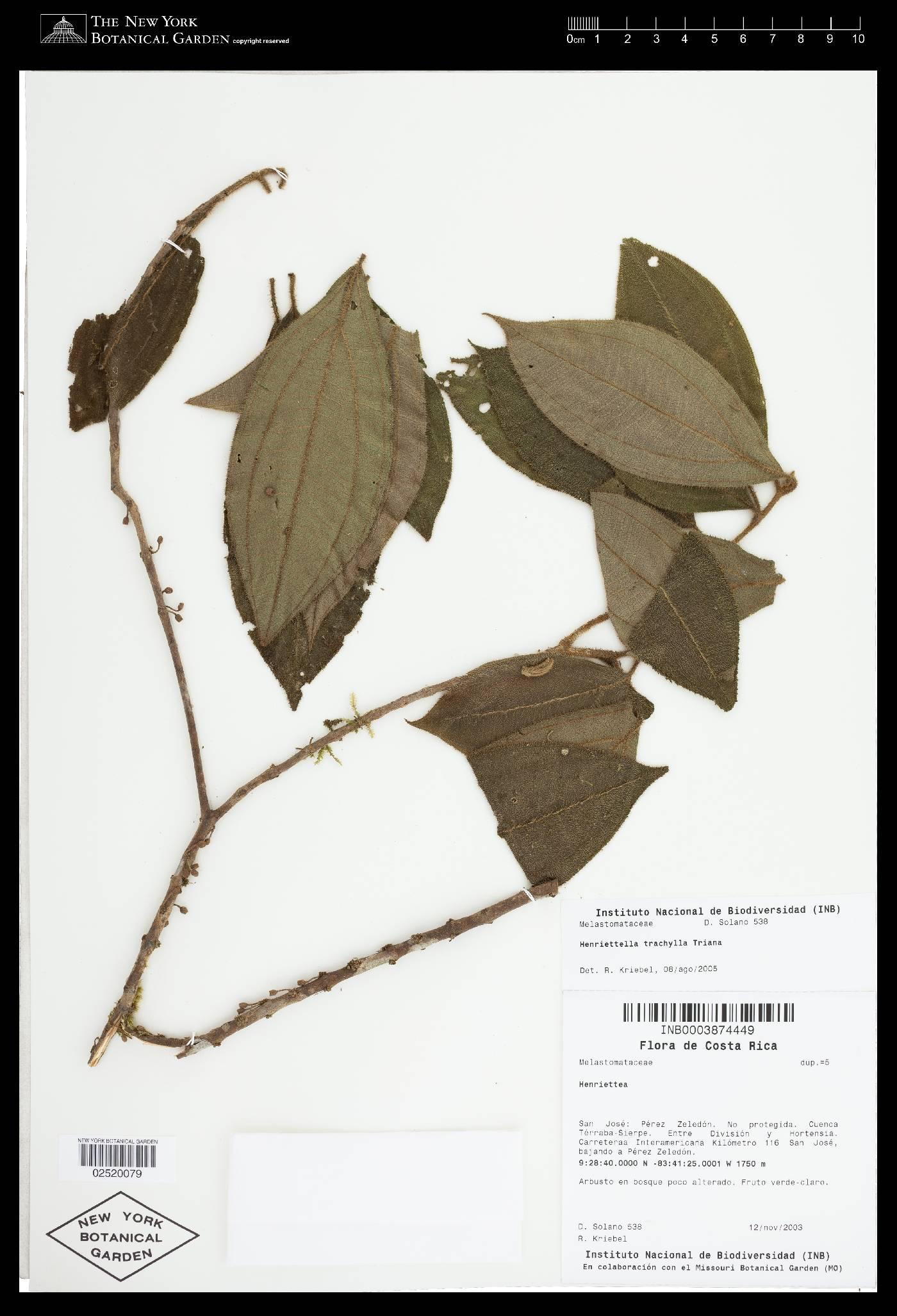 Henriettea trachyphylla image