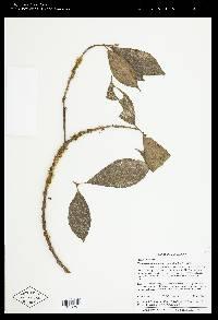 Henriettea tuberculosa image