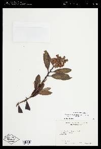 Comarostaphylis arbutoides image