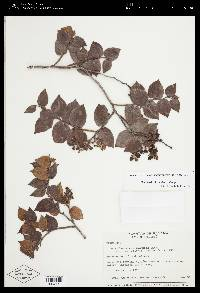 Gaultheria chiriquensis image