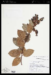 Gaultheria erecta image